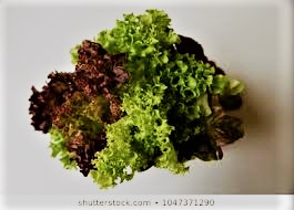 Mix Lettuce (Growing)